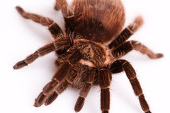 Aranha de Gigant Foto de Stock