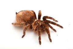 Aranha de Gigant Fotos de Stock