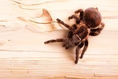 Aranha de Gigant na madeira Foto de Stock Royalty Free