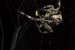 A aranha de jantar Foto de Stock Royalty Free
