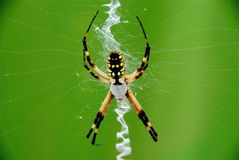 Aranha de jardim Foto de Stock Royalty Free