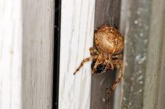 Aranha de jardim, Fotos de Stock Royalty Free