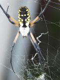 Aranha de jardim amarela 3 Foto de Stock Royalty Free