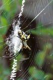 Aranha de jardim amarela em sua Web com rapina Imagens de Stock