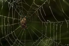 A aranha de jardim em um orvalho cobriu a Web Foto de Stock Royalty Free