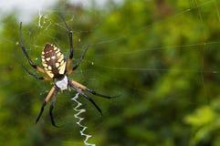 Aranha de jardim em um Web Fotos de Stock Royalty Free