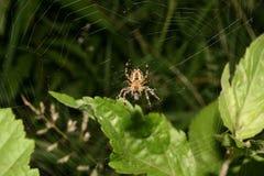 Aranha de jardim européia (diadematus do Araneus) Fotografia de Stock Royalty Free