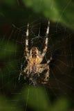 Aranha de jardim européia (diadematus do Araneus) Foto de Stock