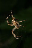 Aranha de jardim européia (diadematus do Araneus) Imagens de Stock