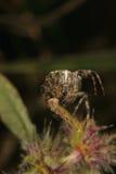 Aranha de jardim européia (diadematus do Araneus) Imagem de Stock