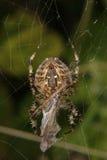 Aranha de jardim européia (diadematus do Araneus) Fotos de Stock Royalty Free