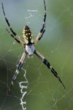 Aranha de jardim (preto & amarelo) fotografia de stock