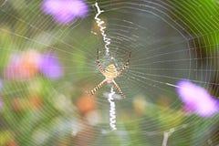 Aranha de jardim unida com Web Imagens de Stock Royalty Free