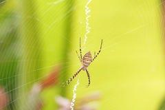 Aranha de jardim unida com Web Foto de Stock