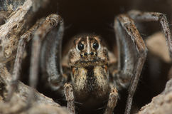 Aranha de lobo Fotografia de Stock