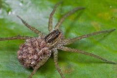 Aranha de lobo com os spiderlings em sua parte traseira Fotos de Stock Royalty Free