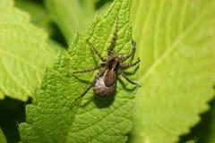 Aranha de lobo (lugubris de Pardosa) Imagem de Stock Royalty Free