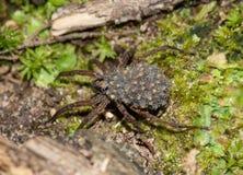 Aranha de lobo no assoalho da floresta que leva seus bebês fotografia de stock