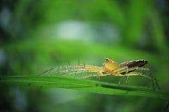Aranha de Lyxn Foto de Stock Royalty Free