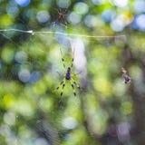 Aranha de madeira gigante a aranha dourada do tecelão ou da banana da esfera Foto de Stock Royalty Free