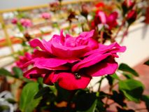 Aranha de Meillandine Rosa fotos de stock royalty free