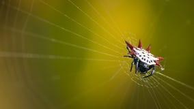 Aranha de Micrathena imagem de stock royalty free
