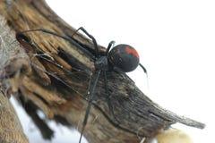 Aranha de Redback Imagem de Stock