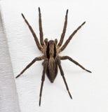 Aranha de salto Fotografia de Stock
