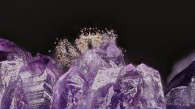 Aranha de salto Fotografia de Stock Royalty Free