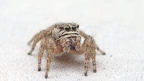 Aranha de salto de Brown que espera e que sai do quadro filme