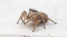 Aranha de salto de Brown que move seus pedipalps e saída do quadro filme