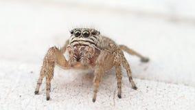 Aranha de salto de Brown que olha me vídeos de arquivo