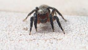 Aranha de salto da cara vermelha que espera e que sae do quadro vídeos de arquivo