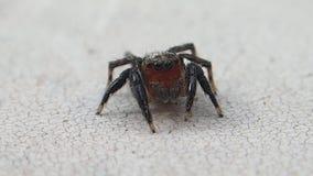 Aranha de salto da cara vermelha que limpa seus pés do verso video estoque