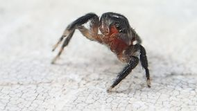 Aranha de salto da cara vermelha que obtém mais limpa e que sae do quadro filme