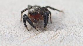 Aranha de salto da cara vermelha que tenta obter o líquido de limpeza vídeos de arquivo