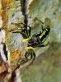 Aranha de salto do melão verde fotografia de stock royalty free