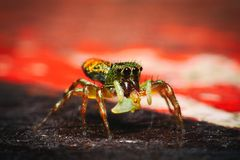 Aranha de salto, aranha do pavão imagem de stock