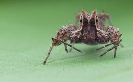 Aranha de salto do sp de Portia Fotos de Stock