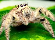 A aranha de salto fêmea selvagem com cor branca e de creme olha a visão e a estada altas na folha verde imagem de stock royalty free