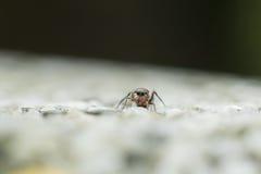aranha de salto Formiga-mímica imagem de stock