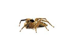 Aranha de salto isolada no fundo branco Imagem de Stock
