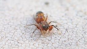 Aranha de salto marrom pequena que limpa um de seus pés da parte anterior vídeos de arquivo