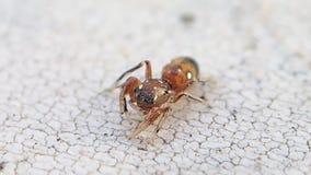Aranha de salto marrom pequena que obtém o líquido de limpeza em seus pés do lado direito filme
