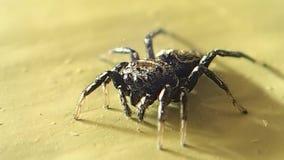 Aranha de salto pequena que muda seu lugar filme