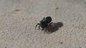 Aranha de salto preta pequena que sae do quadro vídeos de arquivo