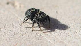 Aranha de salto preta que limpa sua cara filme
