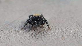 Aranha de salto que olha me video estoque