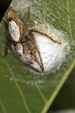 Aranha de salto que protege o ninho com o close up do extremo dos cachorrinhos fotografia de stock