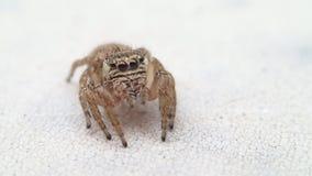Aranha de salto que salta em minha câmera video estoque